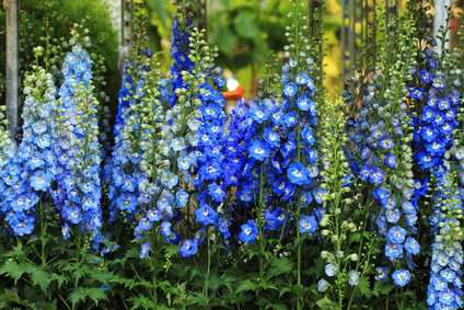 blue delphinium flower background